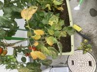 家庭菜園で育ててるミニトマトの様子がおかしいのでわかる方教えて下さい。 画像載せます。これは病気ですか? 茎の部分が変色し始めて葉っぱが黄色くなってます。 治せますか?病気の場合現在なっている実は食べれますか?【人害の有無】
