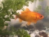 10歳を迎える金魚の産卵についておしえてください。 一匹で飼っている金魚がいます。金魚すくいで子どもが連れて帰りました。 我が家に迎えて10年になりますが、今年4月に2回、初めて産卵しました。 体力を消耗したようで、体に白いカビのようなものが出て、塩水浴や薬浴でなんとか回復してきたなと思っていたら、また昨日産卵してしまいました。 産卵の2日前に、水の入れ替えはしましたが、定期的なことで...
