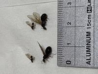 雨戸付近に羽アリが大量発生していて、スプレーで巣っぽい所を駆除したのですが、これは女王アリでしょうか? しかし、女王アリが2匹いるのもおかしい気がします。詳しい人教えてください