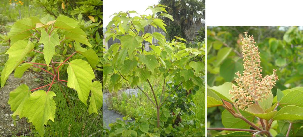 画像の雑草の名前を教えてください。成長すると木のように大きくなります(写真真ん中)そして、写真左のような花? も出来ています。畑のいたる所に生えてますが、駆除した方がいいのでしょうか?