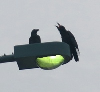 右のカラスは追いかけて止まりました、 幼鳥に思いますが教えてください、 岐阜県美濃加茂市で、 撮影20210629