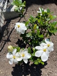くちなしの花は、園芸店で売るときひとえか八重かは言う義務はないのですか? 八重を買ったつもりでいたのですが、咲いてみたら・・・