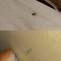 家に蜘蛛ちゃんが2匹巣をはっていました。 その二匹は別の種類のように見えますが、名前わかる方教えてください!またこの蜘蛛は駆除した方がいいでしょうか?害がないなら放置したいと思います。ちなみにイエユウレイグモは毎日のように部屋で見かけます^^;