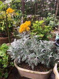 この白い葉っぱの植物の名前を教えて下さい。 たまに見かけますが、私の周囲に正体を知る人がいません。この葉っぱ、地は緑色のようですが、白い繊維状の何かに覆われていて、光合成するに不利のように感じてちょっと気になりました。  ご存知の方、正体を教えてください。