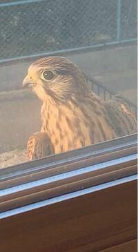 この鳥は鷹か鳶どちらでしょうか。