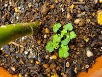 パキラの横から他の植物の芽が出てきたのですが (おそらく何かの雑草…?) 何の植物かわかる方、いらっしゃいますか? 今年つわりが酷かった頃に パキラのお世話をマメにすることが 出来なかったので、パキラの下の方の葉が落ちて 今は再生中です。  雑草は多分ひっこ抜いた方がいいですよね?