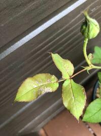 バラの葉です。 黒星病とは違いそうです。 これは、何の病気ですか?