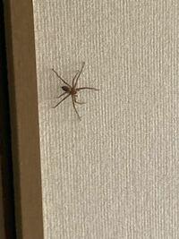この蜘蛛の種類ってわかりますか?? でかいです。