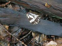 蝶の名前を教えてください、 岐阜県米田白山で、 撮影20210704