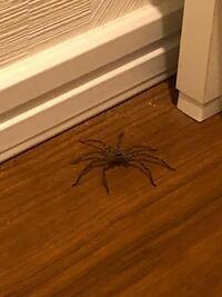朝起きたら洗面所に蜘蛛がいました。新築アパートに引っ越して3ヶ月で、掃除や虫対策もしっかりしているつもりです。この蜘蛛の名前と侵入経路を教えていただけると嬉しいです。よろしくお願い致します。