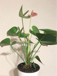 アンスリウムを数年、育てています。 次から次へと新芽が出て彩をそえてくれるのですが、鉢が窮屈なのか、茎が細く感じてしまいます。 (裏側から撮った写真を添付しますので参照ください)  アンスリウムの茎ってこんなもんでしょうか。 もし改善したほうが良い点など何かお気付きのことがあればアドバイス頂けますか?