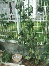 キュウリ栽培時の風対策を教えて下さい。 家庭菜園でキュウリ(1株)を育てましたが 先日、夜間に吹いた強風で翌朝写真のような 哀れな姿になっていました。 場所はカーポート脇のちょっとしたスペースです。 毎年育ててますが、収穫ができ始めた頃に決まって 風が吹いてダメになります。  蔓はネットに誘引する方法をとってます。 支柱も使っていますが、こちらは主にネットを支えるつもりで 使用しています。 ...