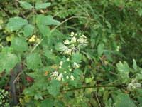 写真の植物(野草)の名前を教えていただけませんか?自生地は宮城県気仙沼市の標高50m前後の林道沿いです。
