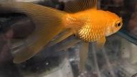 松かさ病でしょうか?家で飼育してる金魚の鱗が開いてるように見えます。元気で餌も食べてフンもします。 病気でしたら治療方法を教えて頂きたいです。どうぞよろしくお願い致します。