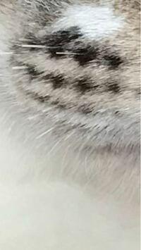 猫のひげについてです。 飼い猫のひげが、昨日まであったのが突如今日なくなっていました。 残っているひげの長さは2〜3mmくらいです。 多頭飼いなのですが、猫の誰かが噛みちぎったり、ぷちぷち切ってしまったのでしょうか?