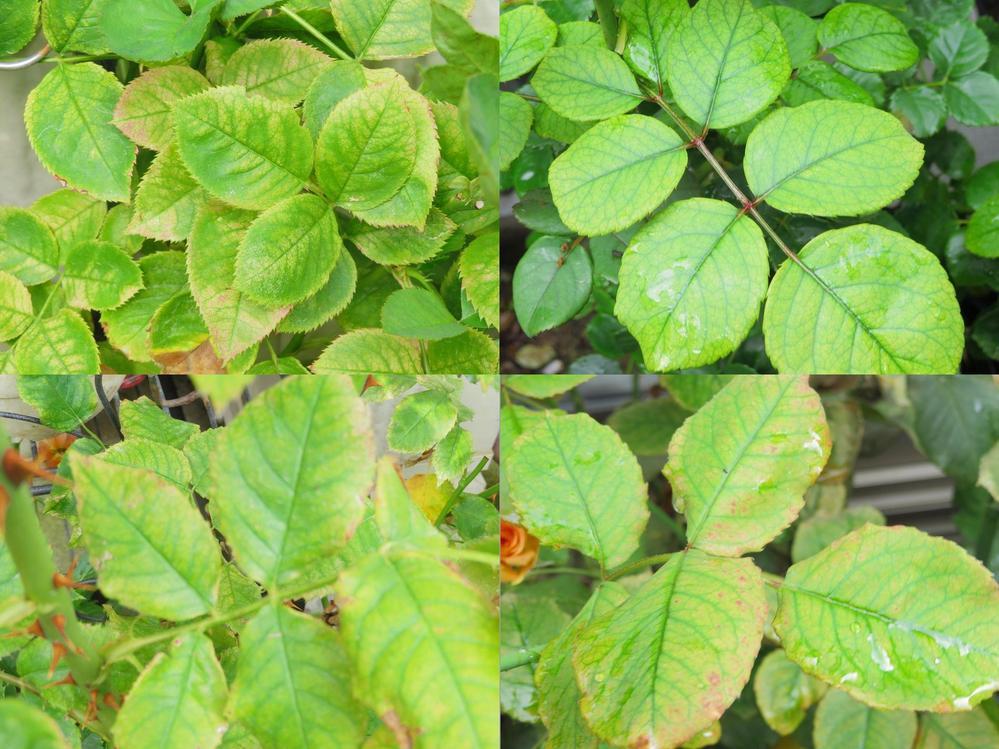 バラのクロロシスに関して質問です。 30鉢くらい育てているのですが1番花が終わり2番花が咲き始めています。 半分くらいのバラがクロロシスになってしまいました。 普段使っている肥料は「マイローズ バラの肥料 固形タイプ」 2か月おきに施肥しています。 その他、液肥のハイポネックス原液と活力剤リキダスを10日に1度くらいあげています。 クロロシスを直すのにはどうしたらいいのか教えてください。 ※添付画像はすべて別々のバラです。 (エブタイド、アイスフォーゲル、ラドルチェヴィータ、ブラスバンド)