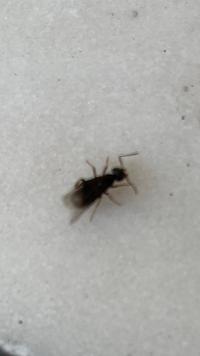 この虫はなんでしょうか? マンションの階段に大量に発生しております。 虫に詳しい方教えて下さい