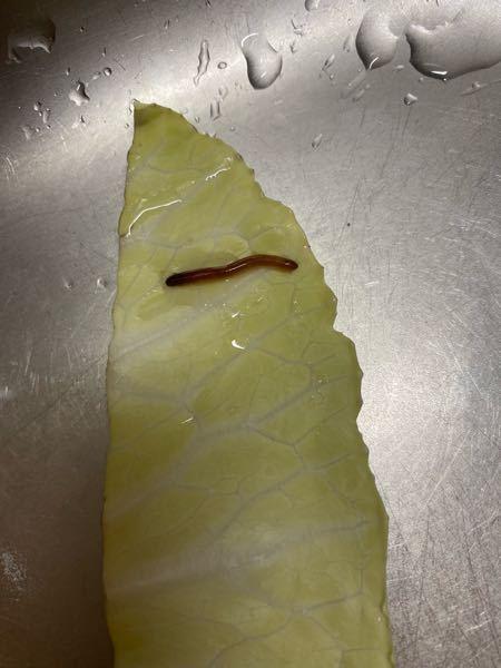 スーパーで買ったキャベツの 中に生きてたんですが、 これは何という虫ですか? ニョロニョロと動いてます