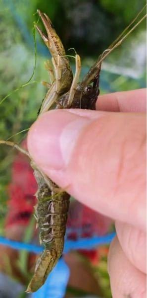 このザリガニの種類ってなんでしょうか。 都内の公園で捕まえました。 ※手が汚くてすみません。