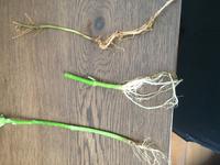 根腐れですか?     育たなくなった野菜を朝抜いて写真を撮っておきました。  根は見にくいですが根腐れだと思いますか?  真ん中はエンサイです。これは肉眼で見ても根は白色です。 下はオクラ で背丈が15cm程度で止まりました。 上はシカクマメ です。これは枯れてしまいました。  この上下の2つは真ん中のエンサイ程白くはないです。まあ土で汚れているだけかもしれませんが...