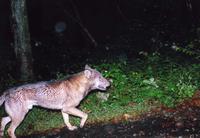 25年位前にオフシーズンで交通量が少ない時に奥秩父の中津川林道を確か夕方に走行していて、この写真のような耳が小さくて結構大きめの犬を見かけた事がありましたが、 秩父野犬(もしかしたら日本狼)が中津川林道に出没していた可能性はありますか?  テレビで見る外国の狼とは雰囲気が違いますが、耳が小さいのが日本狼の特徴で、今も奥秩父などの山の中で暮らしていると思いますか? https://canisc...