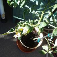 トマト苗ここまで大きくなりましたが、身が二個のみであと花が咲きません、マンション、ベランダ、日当たり良好、肥料も水も欠かしていませんなぜでしょう?
