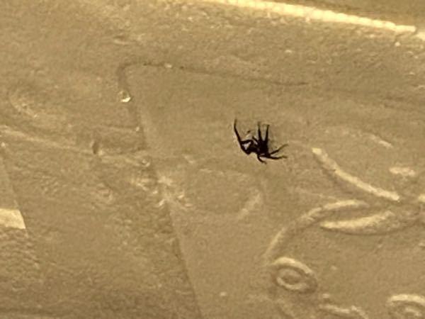 こいつなんの虫でしょうか、、 2匹目です ぴょんぴょん跳ねます 1cmくらいだと思われます 蜘蛛みたいに歩きます( ; _ ; )