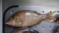 この魚は何という魚ですか? 大きさは20センチくらいです。