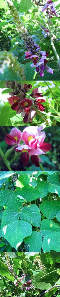 7月の標高300m~400mくらいの低山にあった植物です。 つる性の植物です。花だけを見れば、 藤の花の赤バージョンのような感じ?? もします。 何という名前の植物でしょうか??