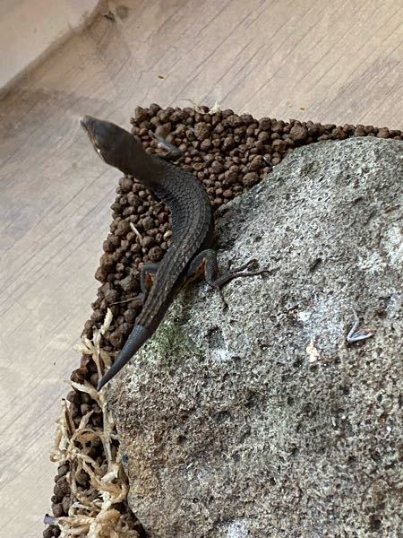 カナヘビが黒くなってきました!日光不足でしょうか?もしくは脱皮前ですか?先日卵を産んだばかりでさ。よろしくお願いします。