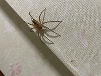 小さい子供がいるのですが、家に大きめの蜘蛛が出ました…毒を持ってたりしたら嫌なので蜘蛛の名前を教えてください!