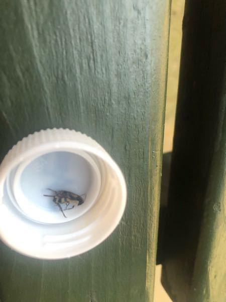 なんの虫かわかる人いますか?バッタのような足でぴょんぴょん飛んでいて、色は白と黒のしましまでした。大きさは大きなハエくらいです。 それと洗剤がかかって動かなくなってしまいしたが、これは死んでいるのでしょうか? 詳しい方がいたら教えていただきたいです。