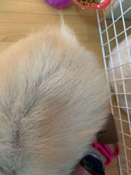 犬の皮膚が黒くなって、カスがついてます。 ブラシをかけると脱毛が激しく毛が抜けていくと共に黒いカスが床に落ちます。これはなんでしょうか?耳先も黒くなってカスが落ちてきます。本人は痒がったりしないし、特に異常もありません。