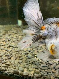 金魚の赤斑病にグリーンFリキッドは効果がありますか? 少しだけ尾びれのところが充血しています。この段階ならまだ薬浴ではなく水換えでも治りますか?