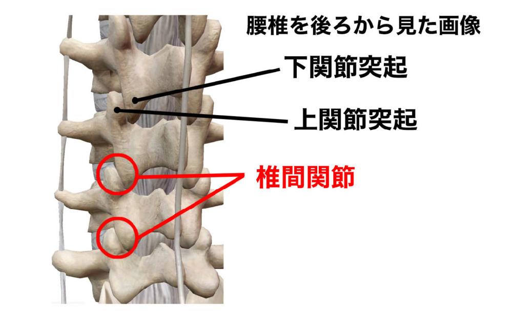 椎弓の間にあるのが黄色靭帯ですか? 椎弓と椎弓の間にあるのが椎間関節ですか? 上関節突起と下関節突起は椎弓の一部でしょうか? 上関節突起と下関節突起で構成されるのが椎間関節(平面関節)ですか? で