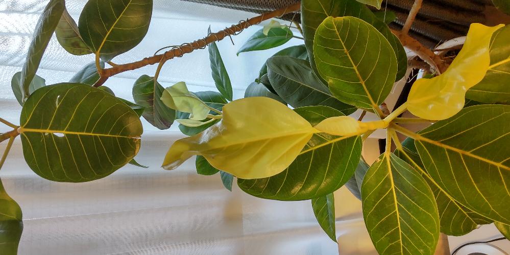 アルテシマの葉っぱが白くなりました。 一週間前に暑くなったので、外のベランダから室内へ入れたところ葉っぱが白くなりました。 何かの病気でしょうか?