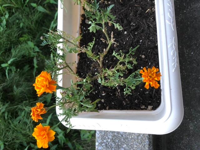 マリーゴールドです。 猛暑の為かハダニにやられたのか、花数が減り葉も枯れて元気がありません。 「茎を半分くらいの長さに切って秋に咲くのを待つと良い」らしいので、やってみようかと思っています。が、そうすると葉がほとんどなく茎だけになるので、光合成ができなくて枯れてしまうのではないかと思ってます。 半分に切っていいですか?