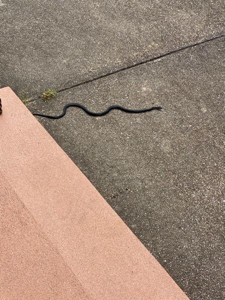 この蛇の種類を教えてください(><) また毒はありますか?