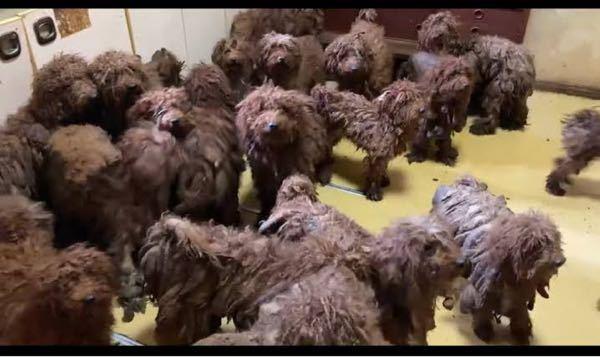 閲覧注意です、、 最近、YouTubeで多頭飼育崩壊の動画をいくつか見ました。その動画で犬が糞尿にまみれて、犬の毛について固まっていました。この糞尿は、そもそも、どうやって付くのですか?糞尿をしたところに寝た結果ってことですか? ちなみに見た犬は↓です。