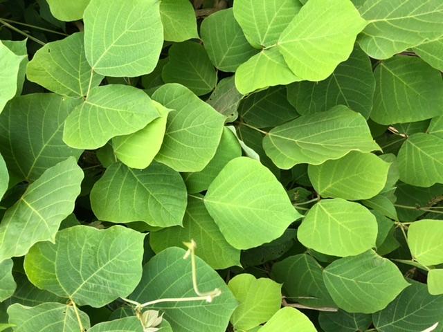 斜面一面に植物が生えているのですが、この葉っぱは何か分かりますか?