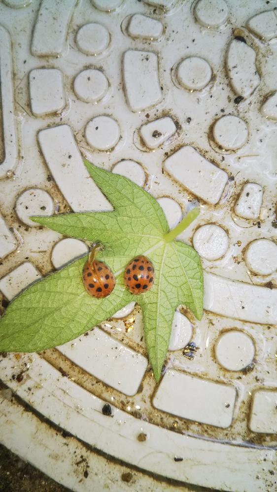 このてんとう虫の名前はなんですか。また、図鑑でみると ナナホシテントウとテントウムシが別に記載がありました。 私たちがよく見るのはテントウムシですが、ナナホシテントウですか? テントウムシとナナホシテントウの違いは?