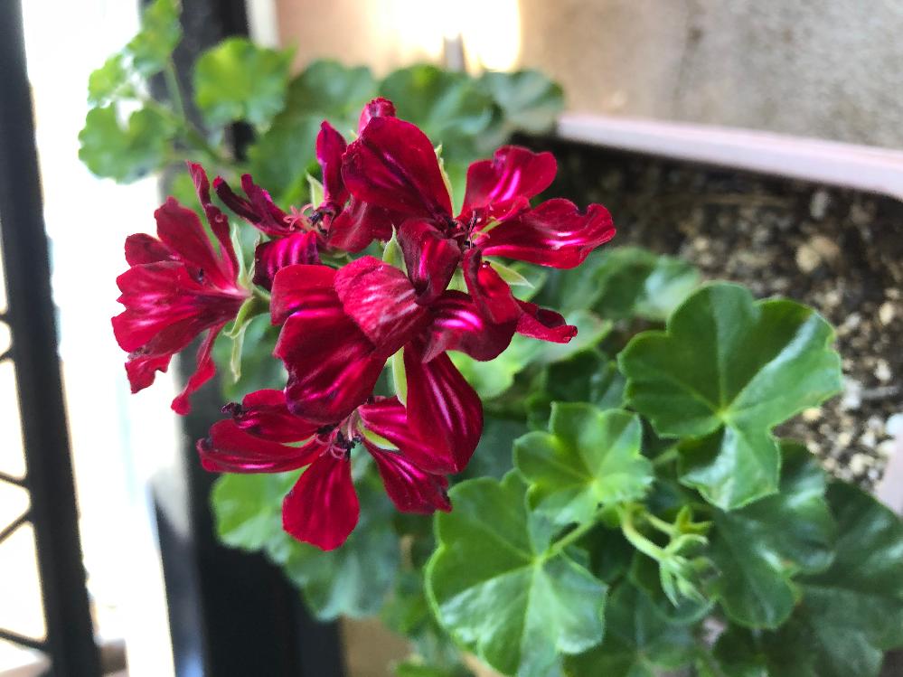 ゼラニウムについて教えて下さい。 ①花が丸く咲かずに蕾のまま黒くなります。 春先、瀕死状態で根元から切り戻し復活しました。その影響でしょうか?病気でしょうか? ②この花の名前をご存知の方がいたら宜しくお願い致します。 とても気に入っているのですが他のゼラニウムより弱いのか挿し芽もまだ成功した事がありません。 どうぞ宜しくお願い致します