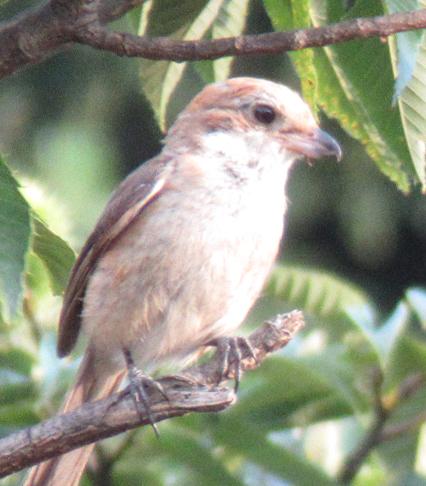 鳥を近くの栗林で見ました。なんとなくモズかなとおもったのですが、家に帰って調べるとモズは色もくちばしの形も違うようです。 どなたか、鳥の名前を教えていただけますか?