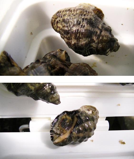 貝の名前を教えてください。 貝拾いに行ってきましてこのような貝がたくさんとれましたが、 名前がわかりません。 1)名前 2)食べることができる種でしょうか? 上記2点、 よろしくご教授のほどお願いいたします。