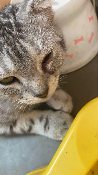 他の猫と一緒にして怪我を負わせてしまったんですが、この写真の感じだと病院連れて行った方がいいのでしょうか? 皆さんコメントお願いします。