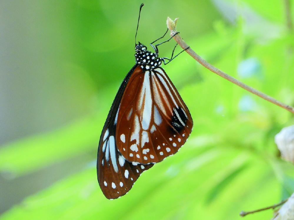 この蝶は何ですか?