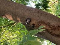 近所の公園で初めて見つけました。ゴマダラチョウでしょうか?