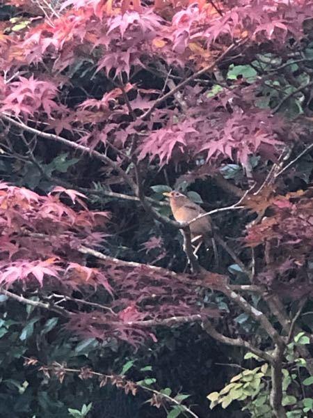 野鳥に詳しい方、教えてください。 長谷寺へ行った時にとても良い声で鳴いていた鳥がいました。 写真に撮ることができましたので、見ていただければ幸いです。 この鳥は何という鳥でしょうか? お分かりなる方がいらっしゃいましたら、よろしくお願いします。