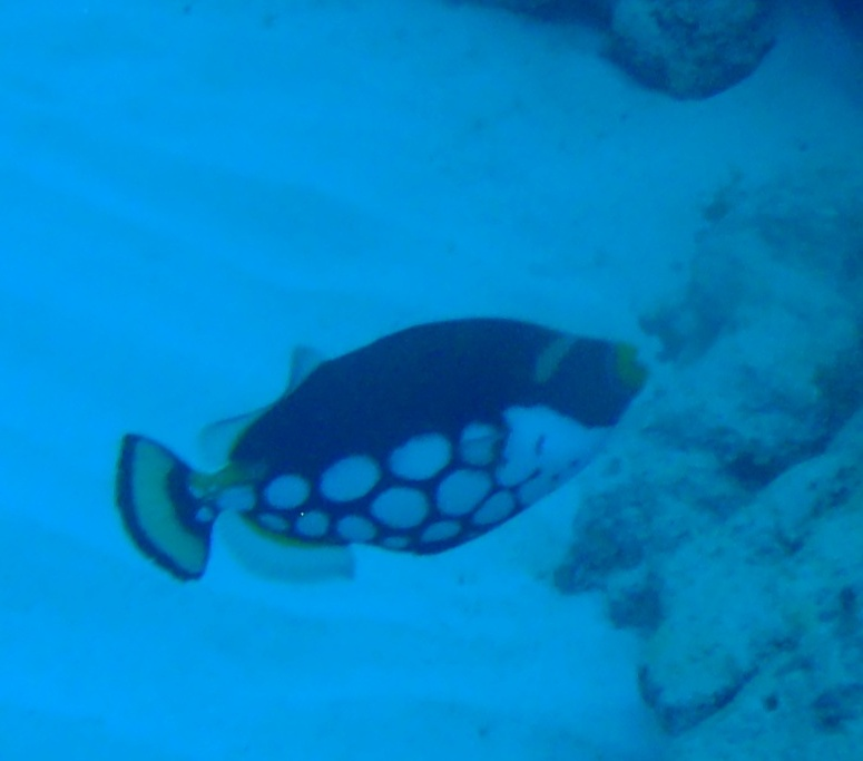 写真のお魚の名称を教えて下さい。 撮影地:慶良間諸島 月日:5/7