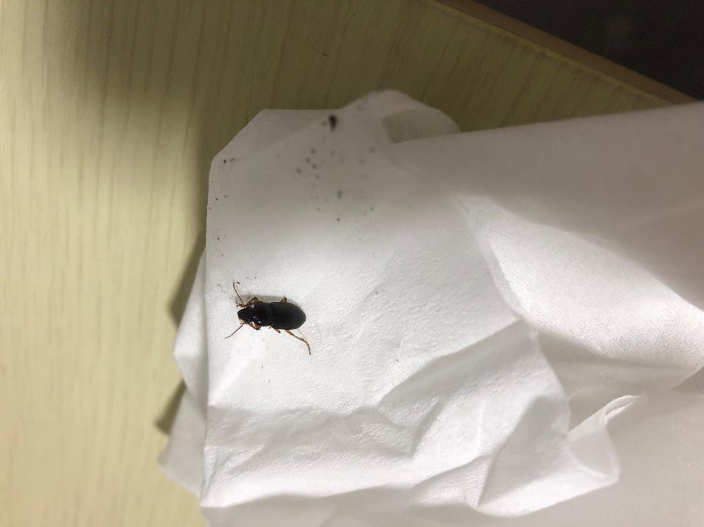 ※画像回覧注意※ 子供ゴキブリのような虫が出ました。これはゴキブリでしょうか?キンチョールで撃退しました。 青森県の実家で発見したのですが、今まで青森でゴキブリが出たことがなかったため、判断できません。 ゴキブリの場合対策を考えなければならないのでどなたかお教えいただきたいです、、泣 よろしくお願いしますm(_ _)m